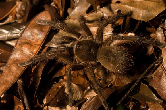 Female Theraphosa blondi in French Guiana.
