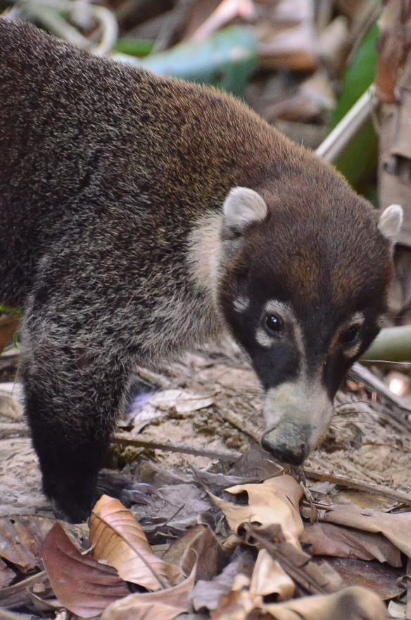White-nosed coati (a relative of raccoons in the family Procyonidae). These guys like to eat tarantulas.