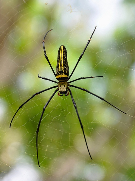 Nephila pilipes female CC from drriss http://www.flickr.com/photos/drriss/10946835995/