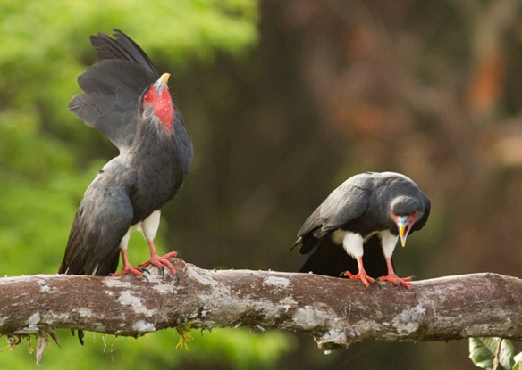Red-throated Caracaras (Ibycter americanus)