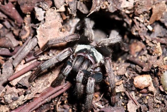 Nemesiidae (M Hedin)