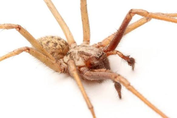 male T duellica palps
