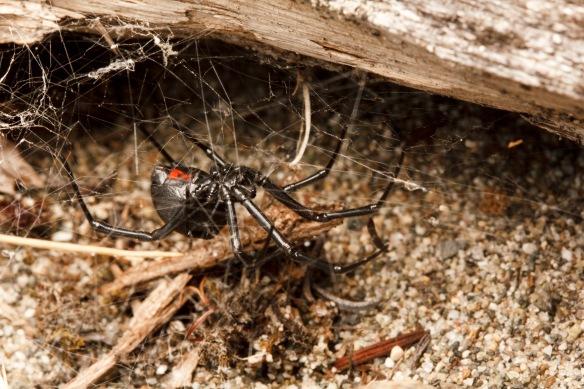 widow web